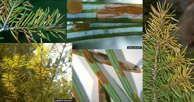 Rhabdocline pseudotsugae