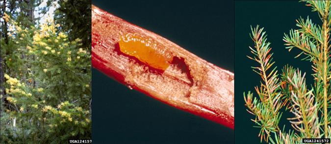 Douglas-fir needle midge